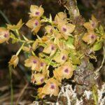 Describen nueva especie de orquídea en Ecuador,  botánicos la encontraron en Morona Santiago